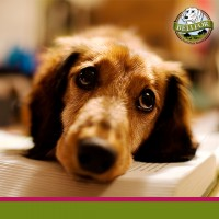 Allergie beim Hund: Symptome erkennen und behandeln