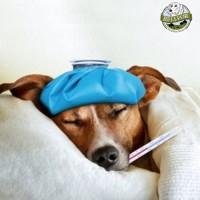 Erkältung beim Hund: Ursachen, Symptome und Behandlung